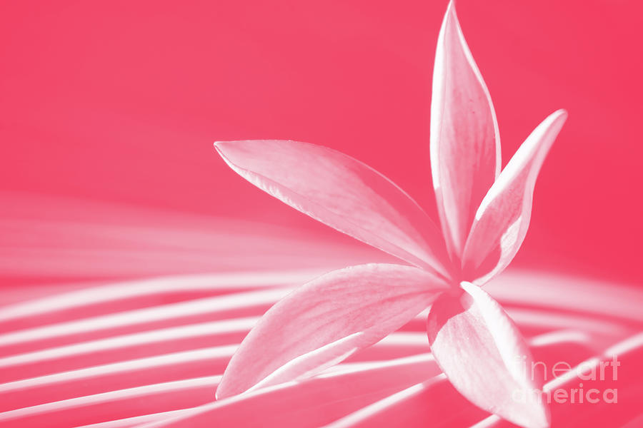 Sunkissed Coral Pink Plumeria  by Sharon Mau