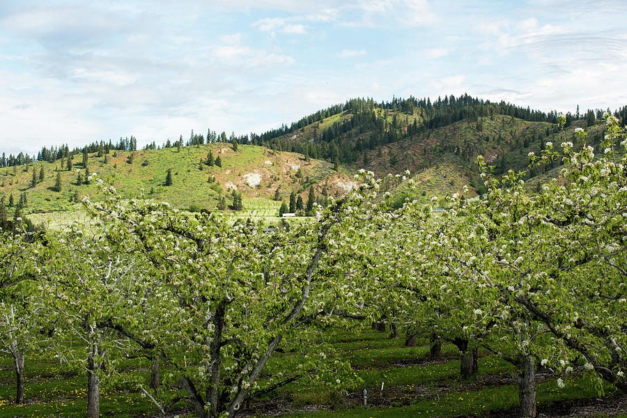 Sunlight above an Apple Orchard by Tom Cochran