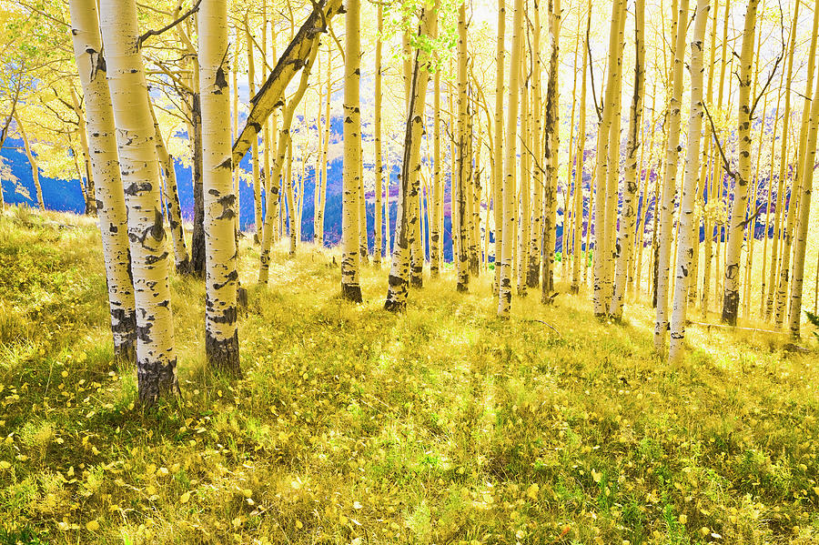 Sunlight Shining Through Backlit Aspen Photograph by David Sucsy