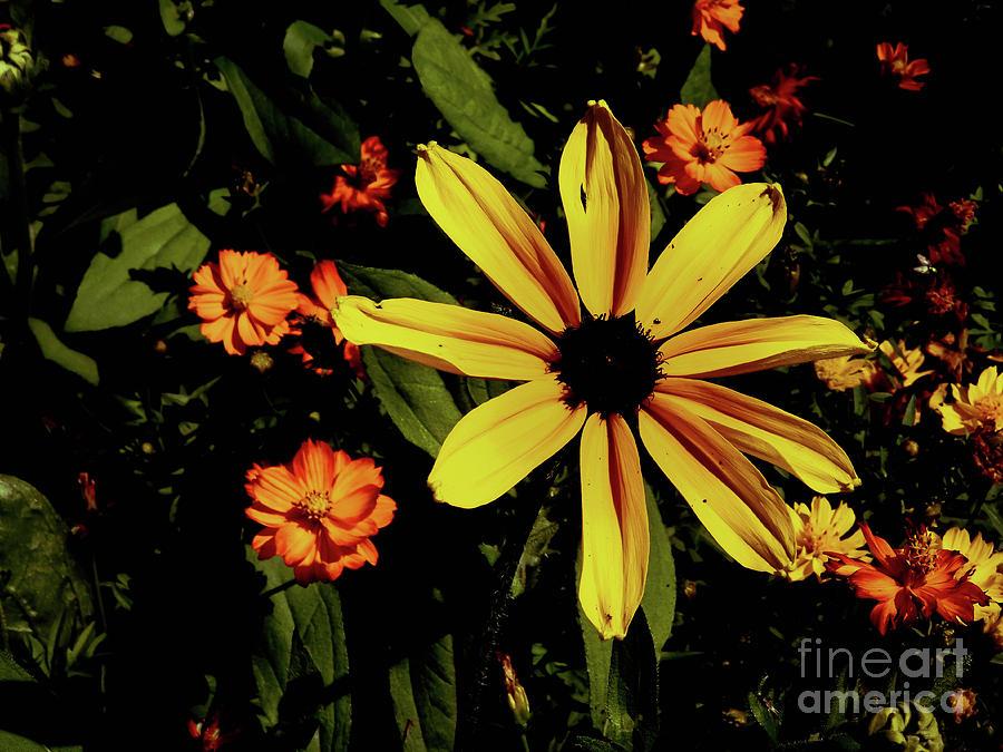 Flower Photograph - Sunlit Black-Eyed Susan by Gina Matarazzo