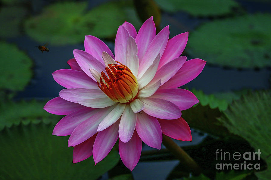 Sunlit Lily by Tom Claud