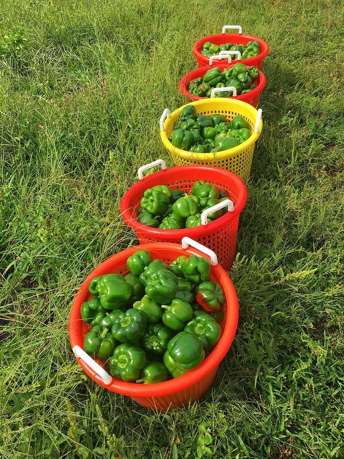 Pepper Photograph - Sunlit Peppers by Luke Moore