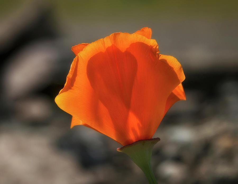 Sunlit Poppy by Betty Depee