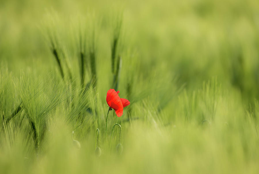 Sunlit Red Wild Poppy by Vlad Sokolovsky