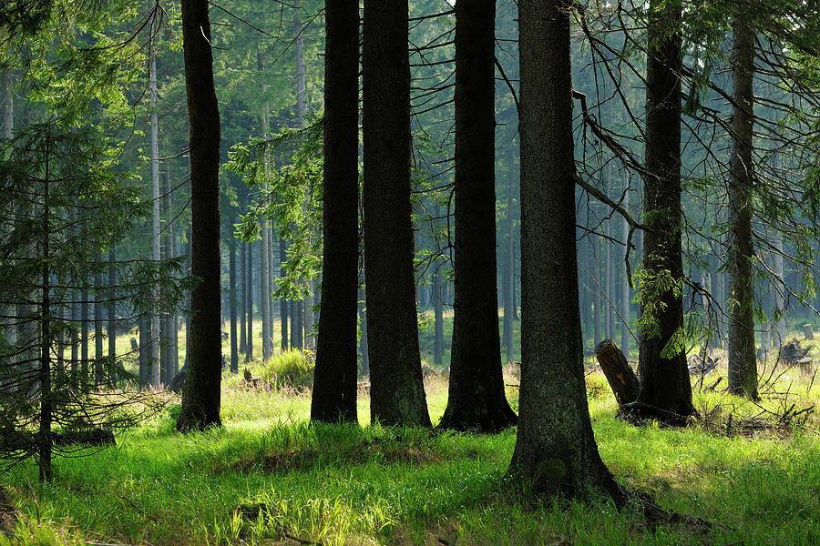 Sunlit Spruce Tree Forest Photograph by Avtg