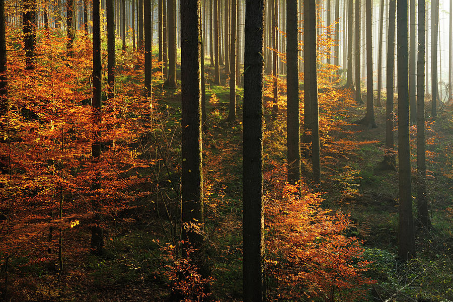 Sunlit Spruce Tree Forest In Autumn Photograph by Avtg