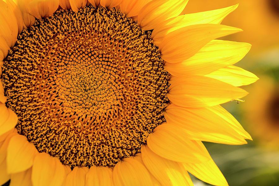 Sunlit Sunflower Petals by Teri Virbickis