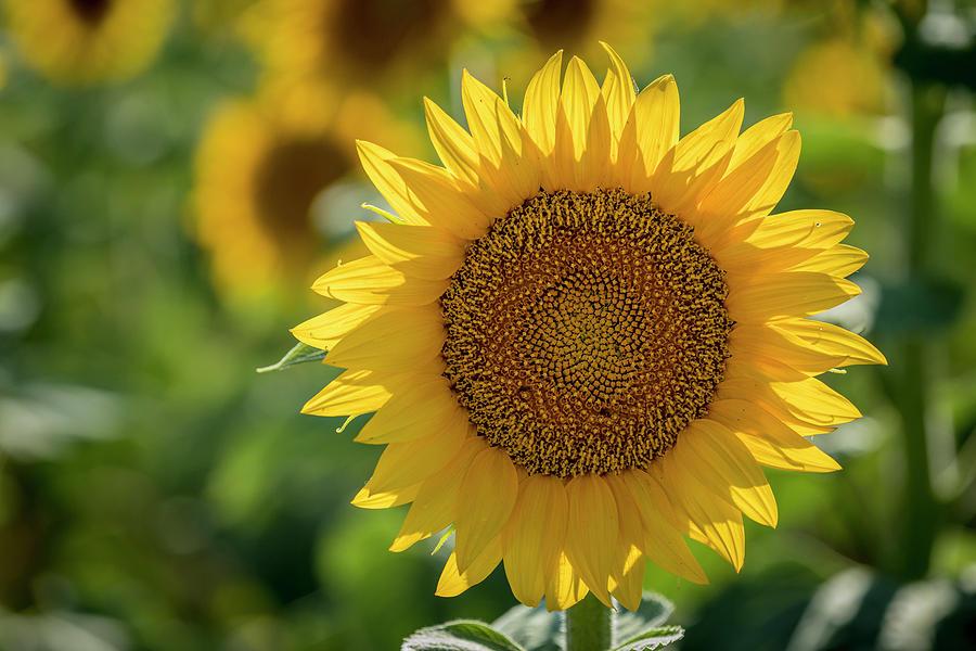 Sunlit Sunny Sunflower by Teri Virbickis