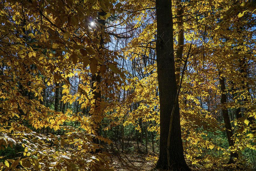 Sunlit Trees by Linda Howes