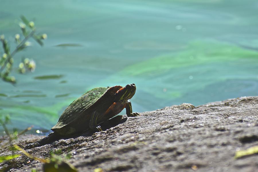 Sunning Turtle by Corinne Rhode