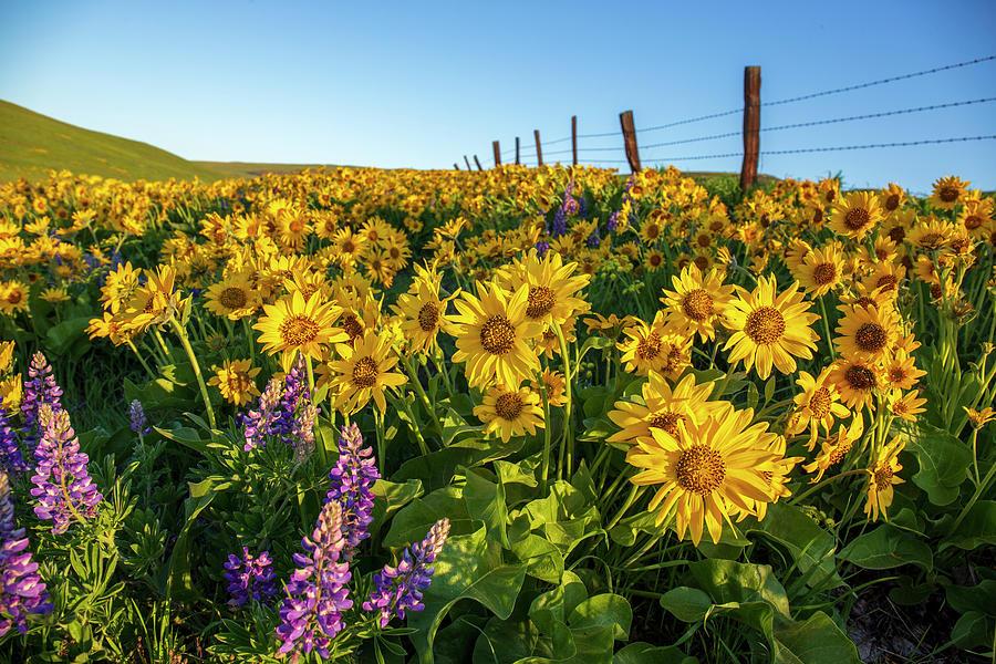 Sunny balsamroot by Lynn Hopwood