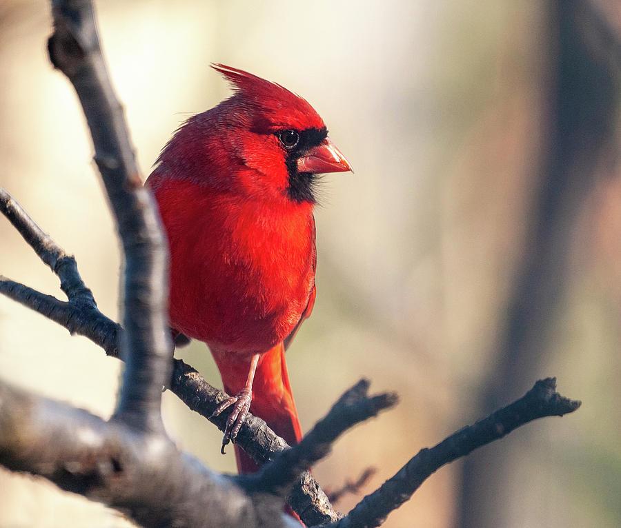 Sunny Cardinal by Lara Ellis
