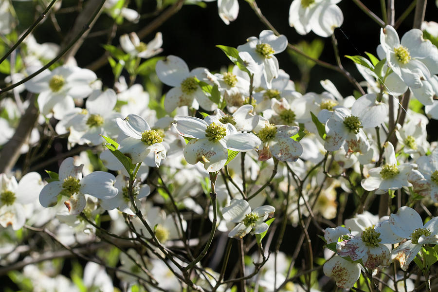 Sunny Sparkling Dogwood Blossoms by Kathy Clark