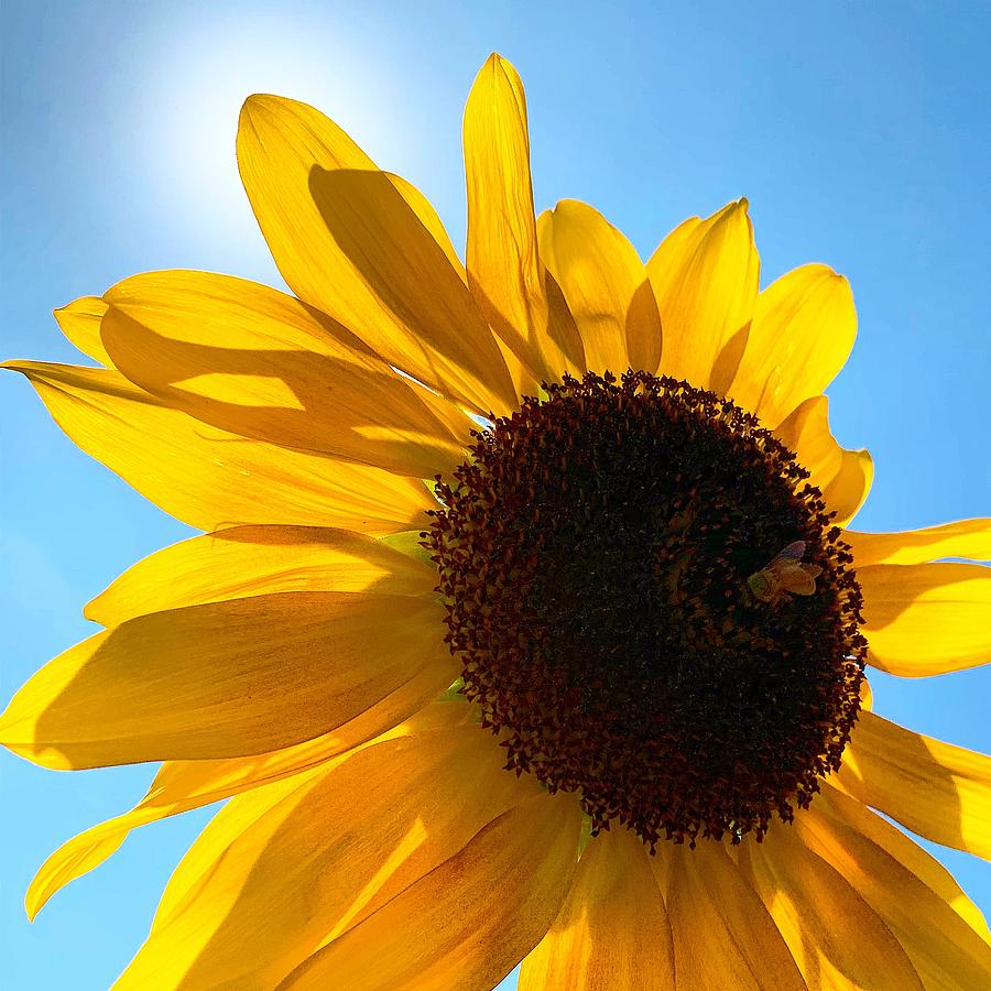 Sunny Sunflower by Brian Eberly