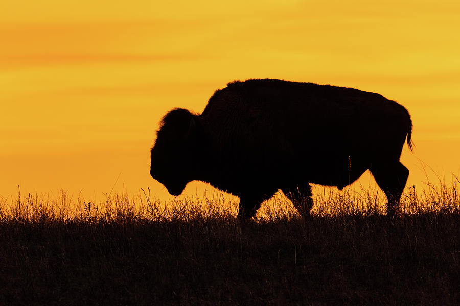 Sunrise Bison by Jay Stockhaus