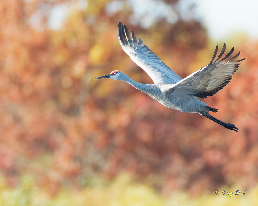 Sunrise Flight by Gerry Sibell