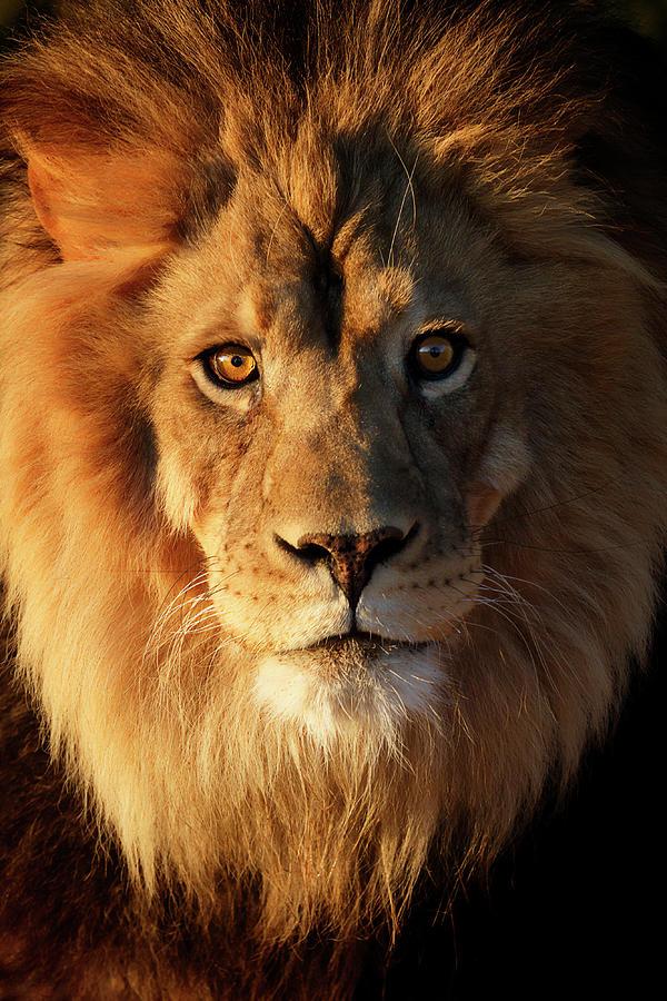 Sunrise Golden Lion I Photograph