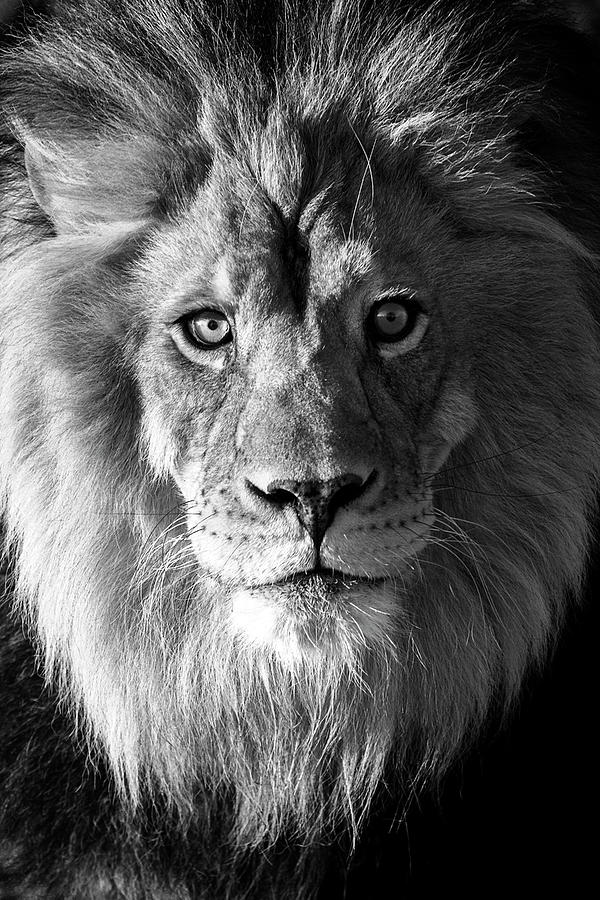 Sunrise Lion In Black And White Photograph