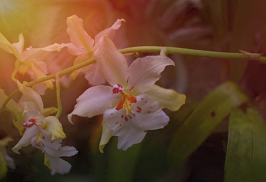 Orchid Photograph - Sunrise Orchid by Richard Goldman