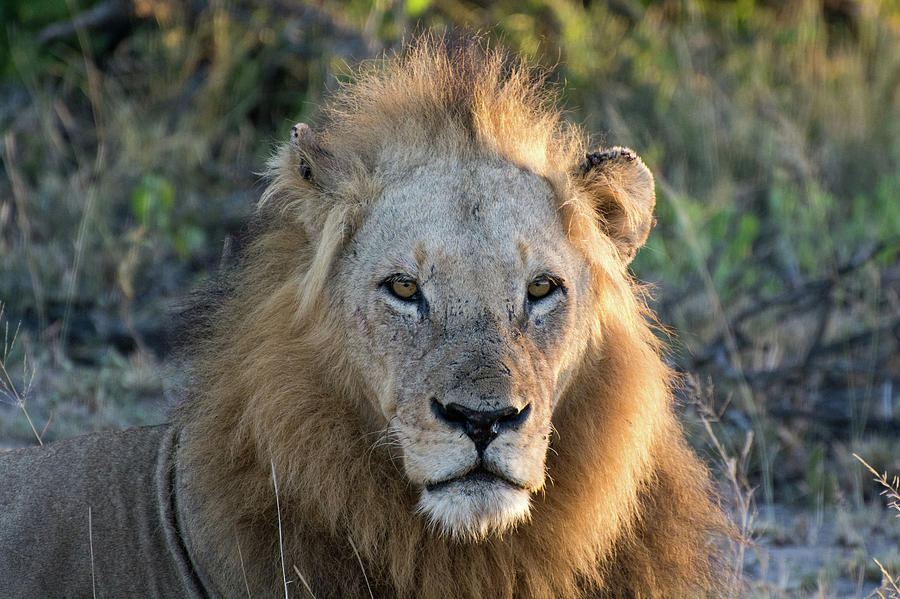 Sunrise Portrait of a Male Lion by Mark Hunter