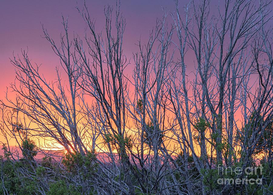 Sunrise through Junipers by Steven Natanson