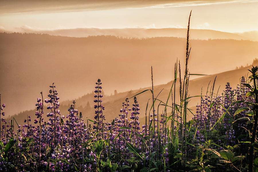 Sunset Among the Lupine by Laura Roberts