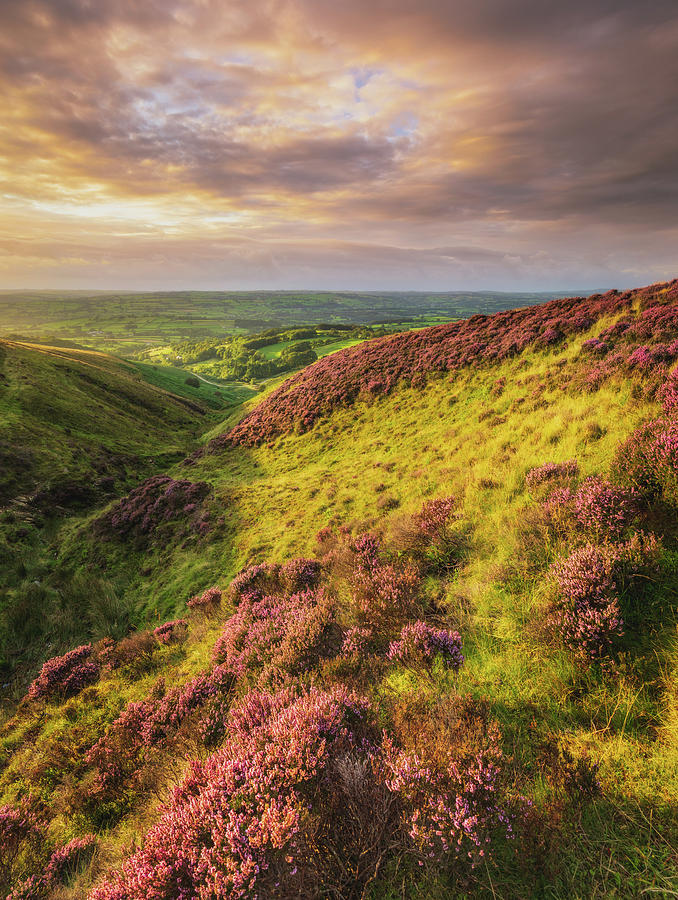 Sunset Heather On Llanllwni Mountain Photograph