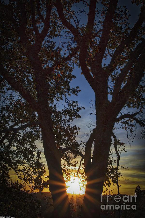 Sunset Oak Tree Photograph