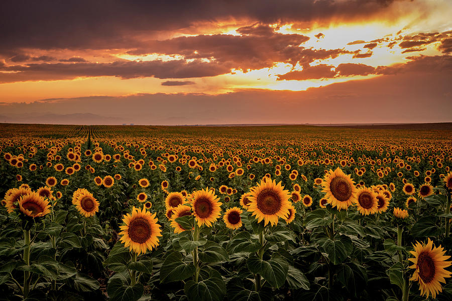 Sunset Over Colorado Sunflower Fields by Teri Virbickis