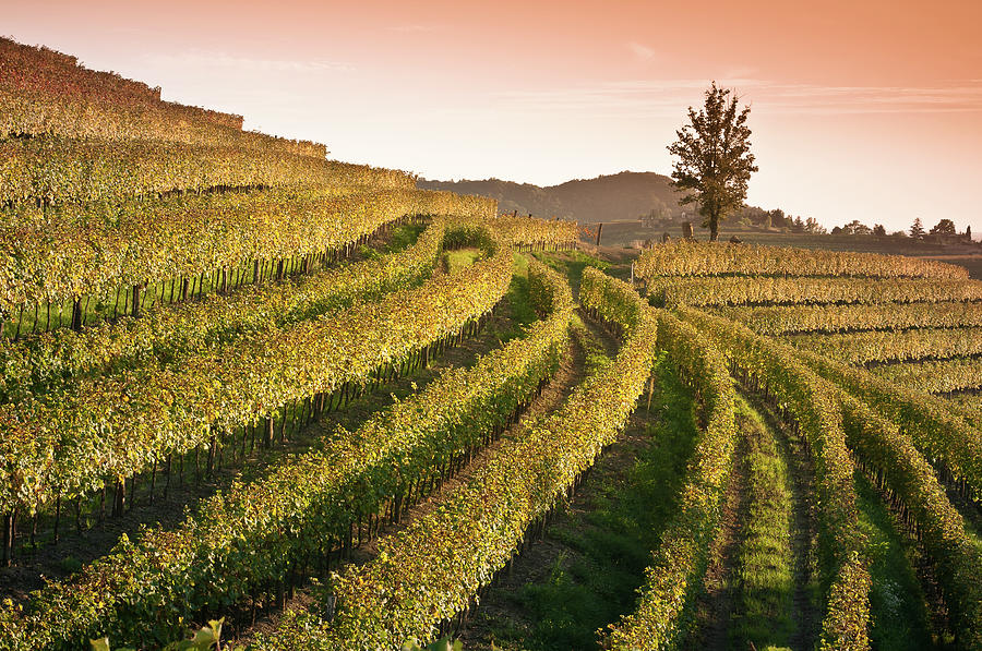 Sunset View Over Vineyard Landscape In Photograph by Bosca78