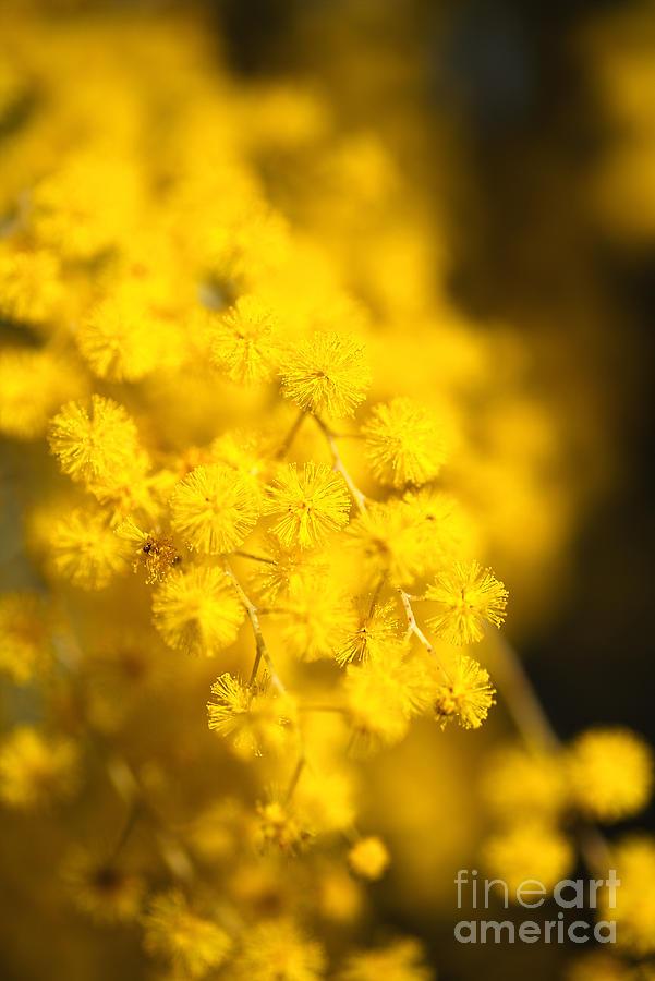 Sunshine Is Wattle by Joy Watson