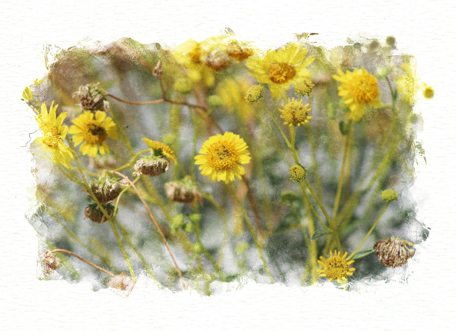 Sunshine Yellow Brittle Bush in Digital Watercolor  by Colleen Cornelius