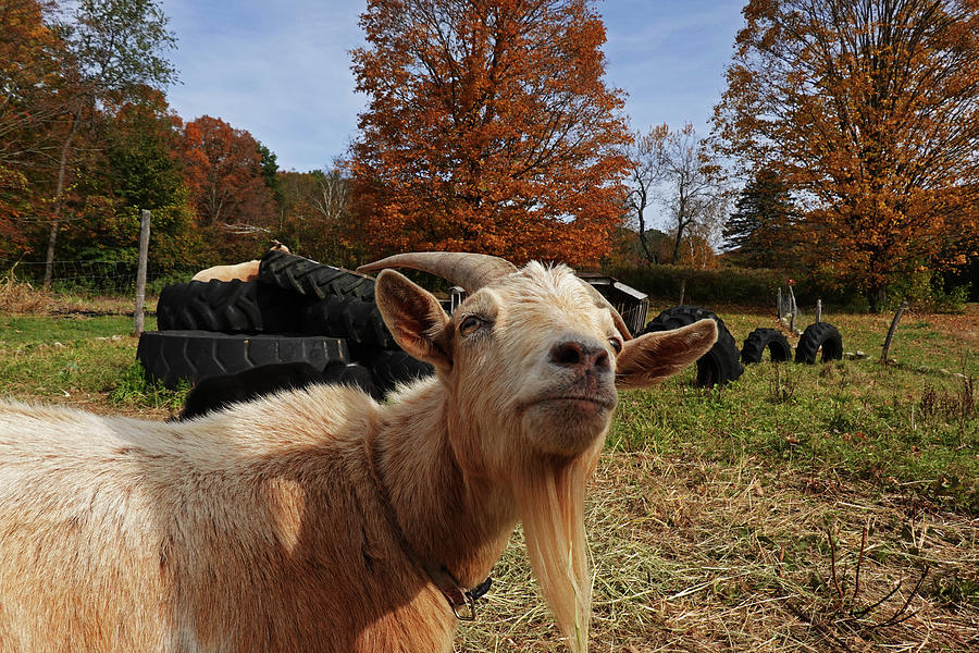 Sup goat by Toby McGuire