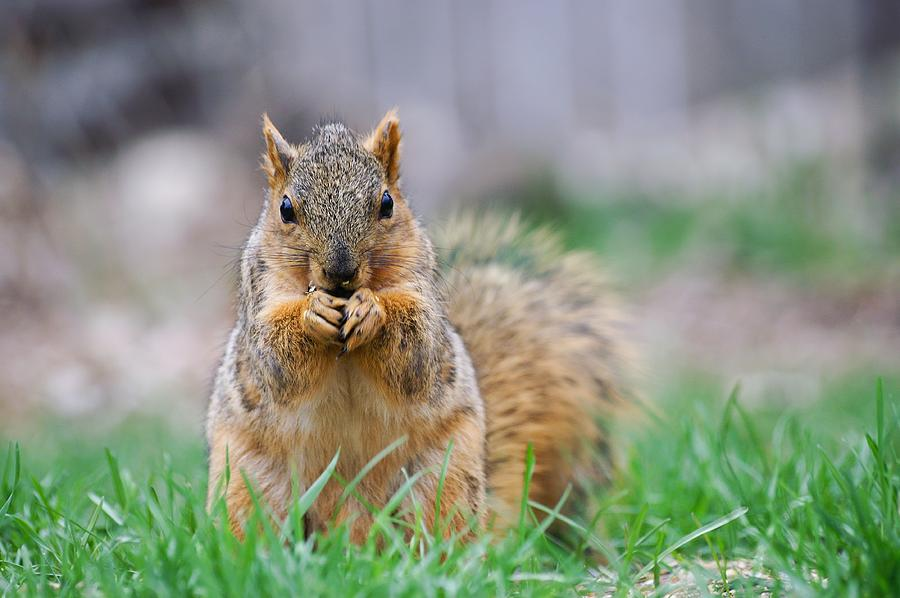 Super Cute Fox Squirrel by Don Northup