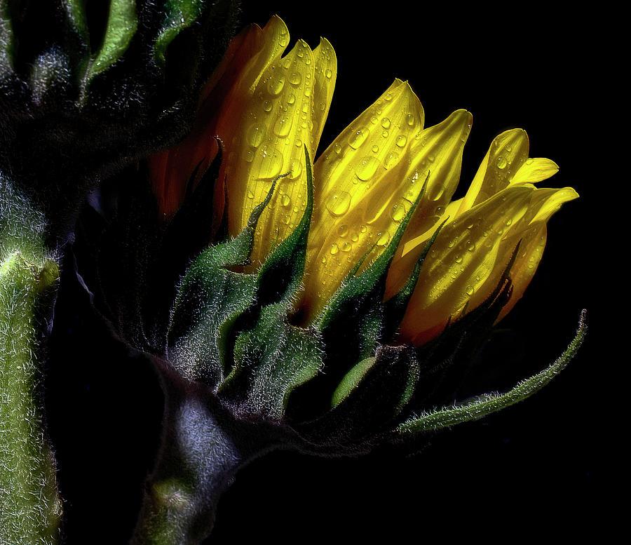 Super Sunflower by Stephen Riella