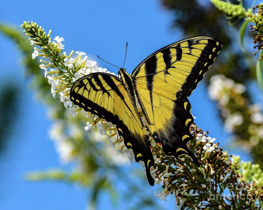 Superb Eastern Tiger Swallowtail by Cindy Treger