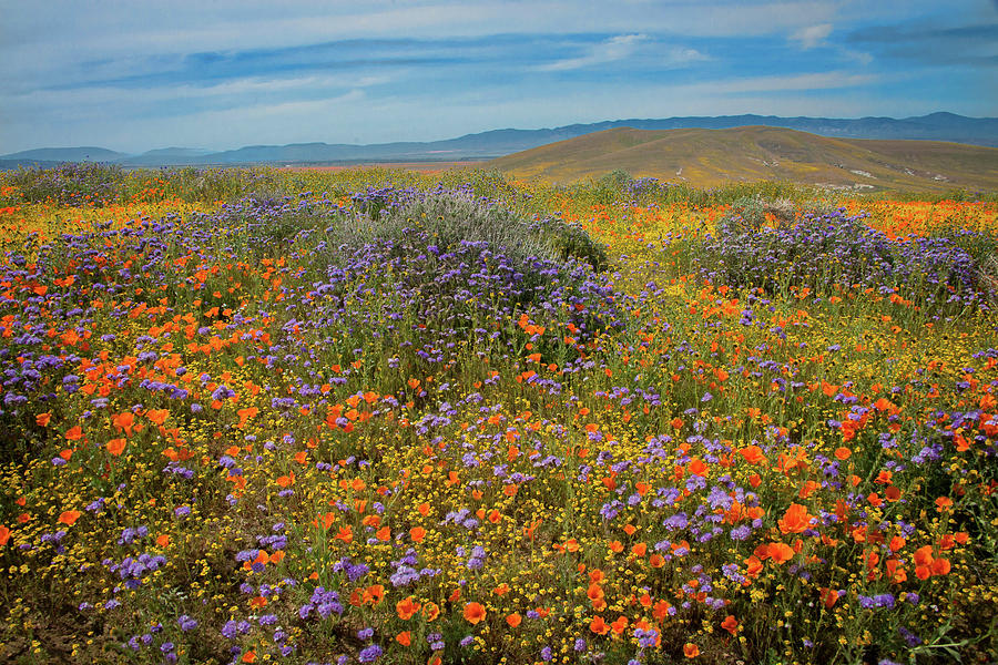 Superbloom Explosion at the Poppy Reserve by Lynn Bauer