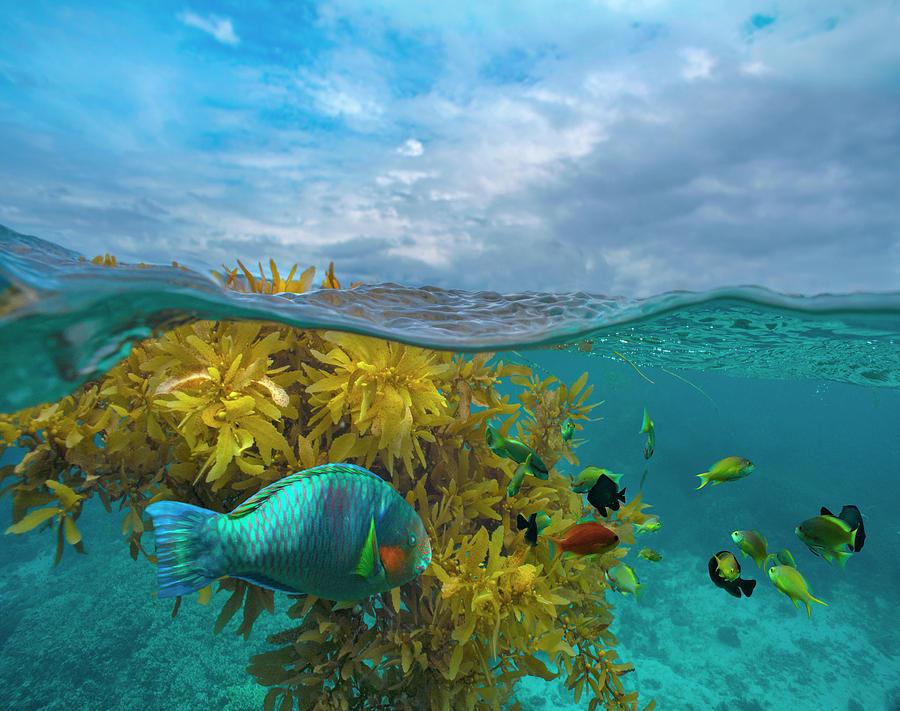 Surf Parrotfish, Damselfish And Basslet School Near Seaweed, Bohol Island, Philippines by Tim Fitzharris