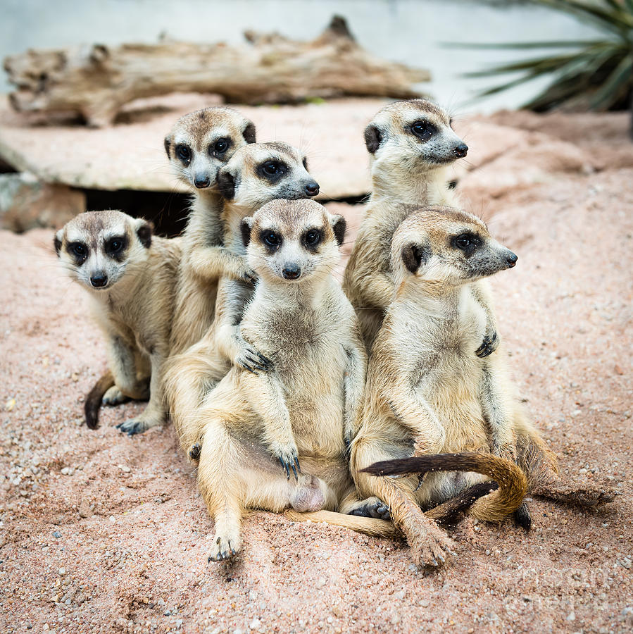 Small Photograph - Suricate Or Meerkat Family by Tratong