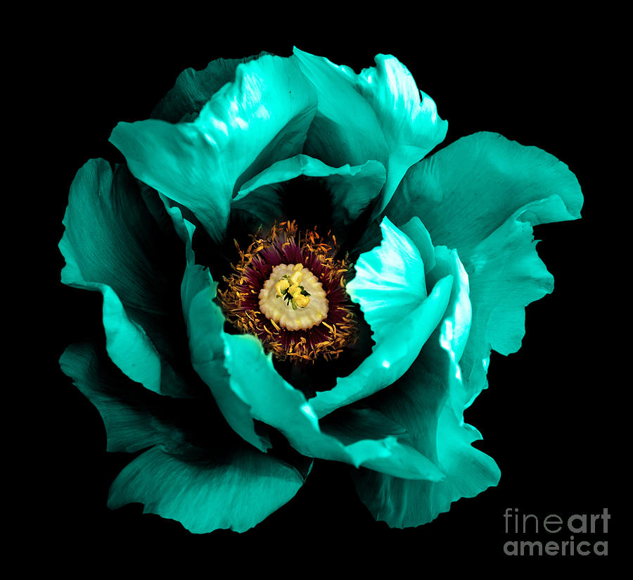 Beauty Photograph - Surreal Dark Chrome Cyan Peony Flower by Boxerx