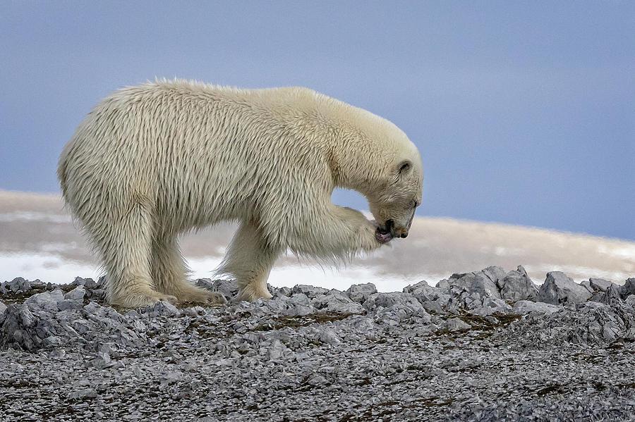 Svalbard Polar Bear 1 by Steven Upton