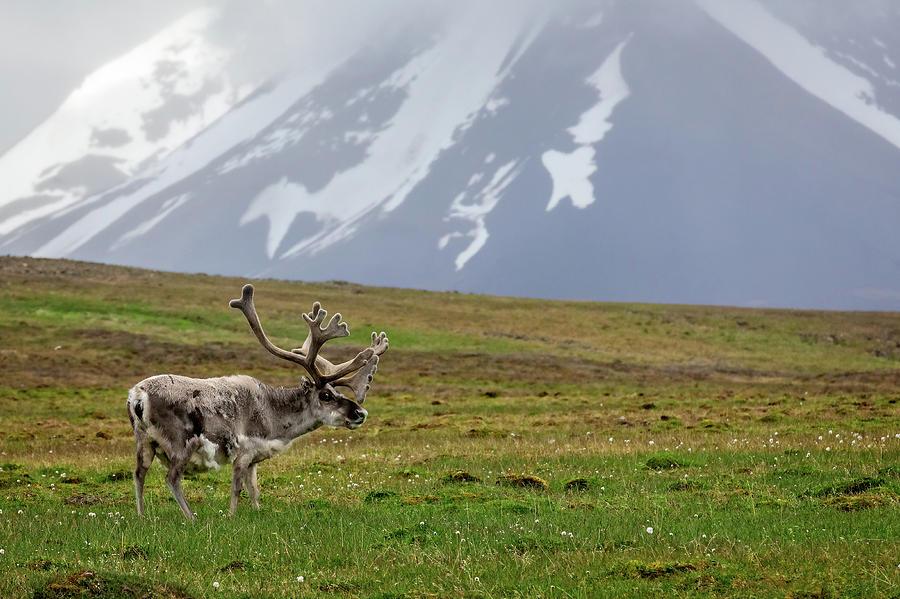 Svalbard reindeer 1 by Steven Upton