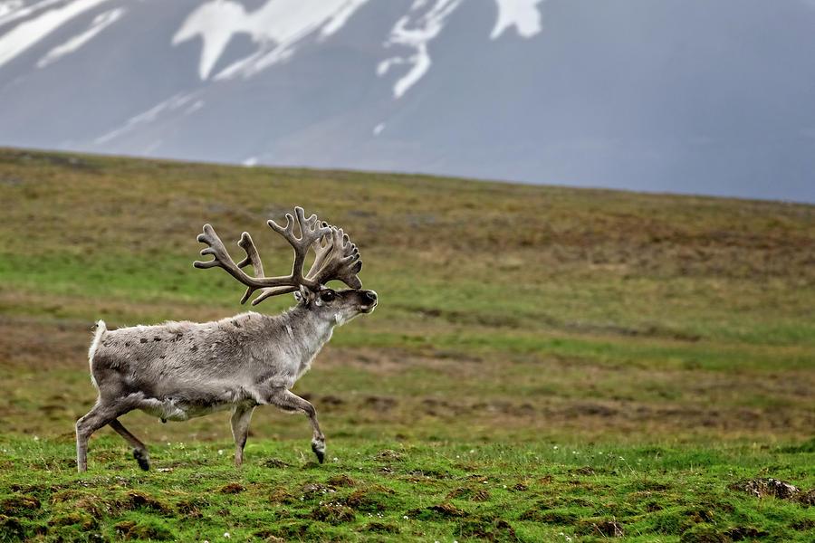 Svalbard reindeer 2 by Steven Upton