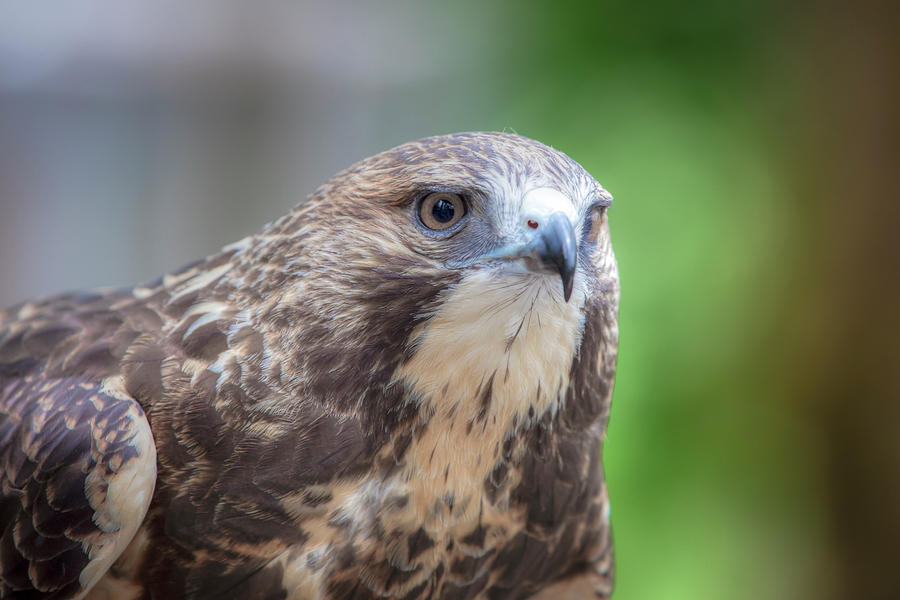 Swainson's Hawk 01077 by Kristina Rinell