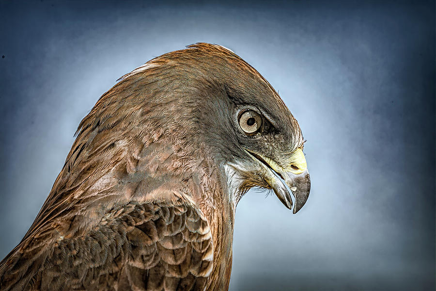 Swainson's Hawk Close Up by Lowell Monke