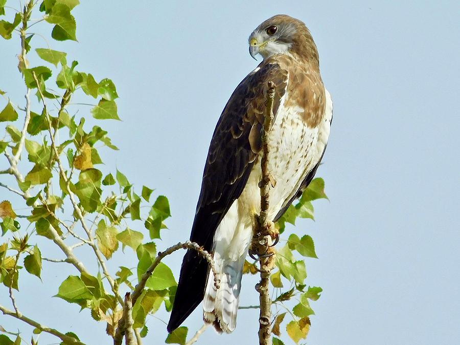 Swainson's Hawk by Dan Miller
