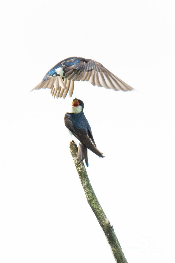 Swallow Fight For Perch by Michael D Miller