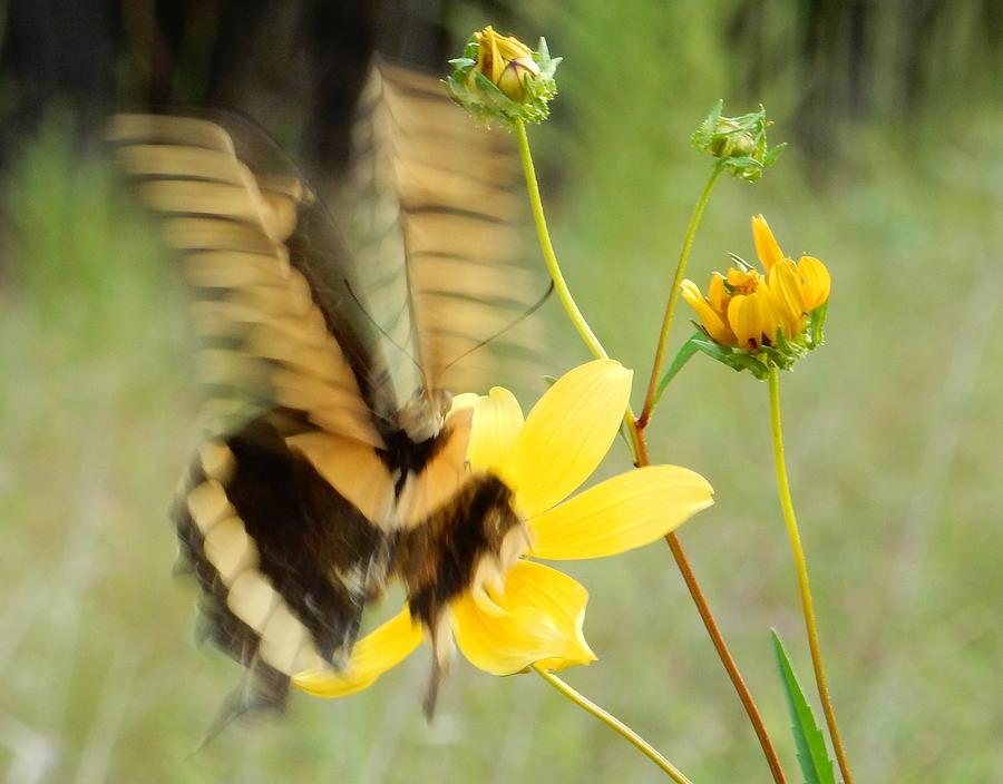 Swallow-tail by Karen Rispin