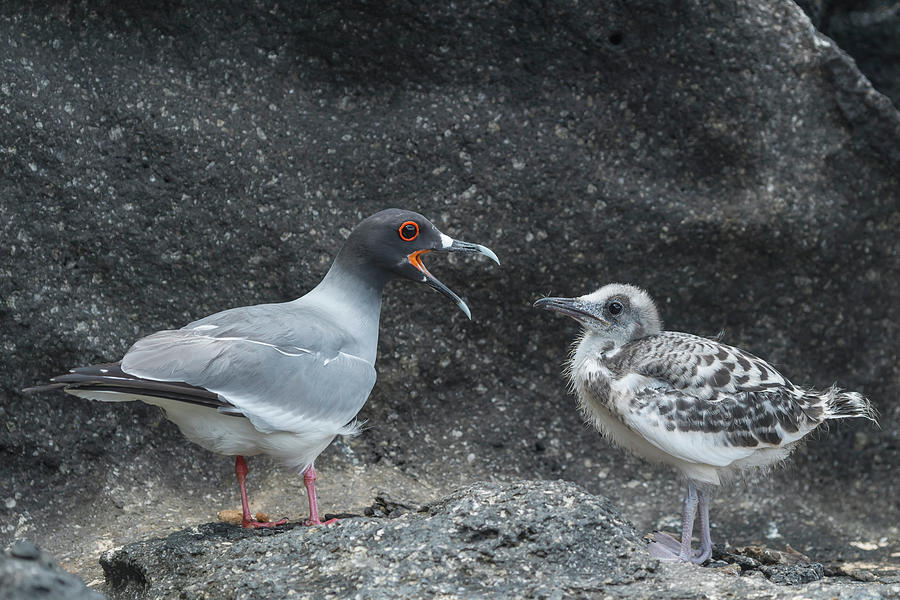 Swallow-tailed Gull Calling Chick Photograph by Tui De Roy