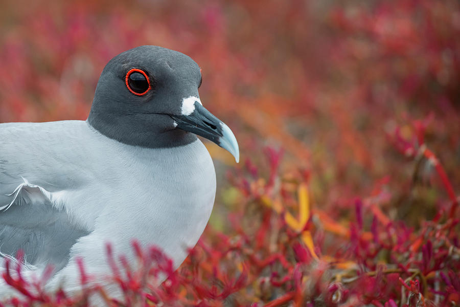 Swallow-tailed Gull On Plazas Island Photograph by Tui De Roy